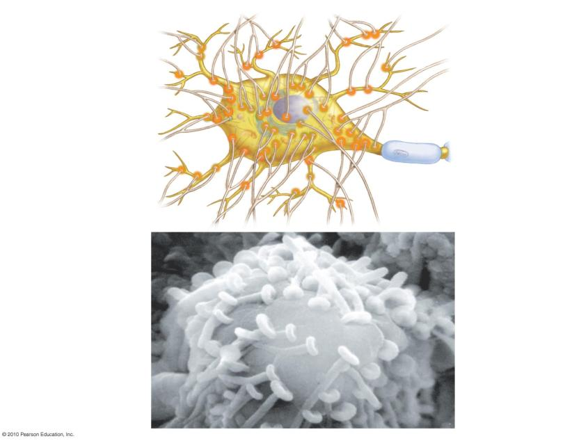 serotonin, and GABA Dendrite of receiving SYNAPSE Sending Action potential arrives.