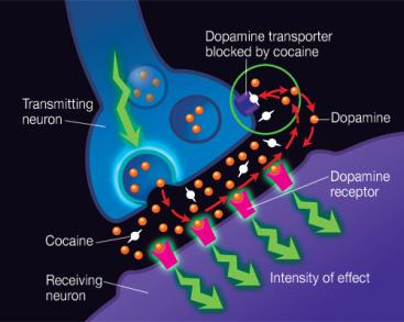 of a neurotransmitter from the synapse Cocaine Prevents the uptake of dopamine at