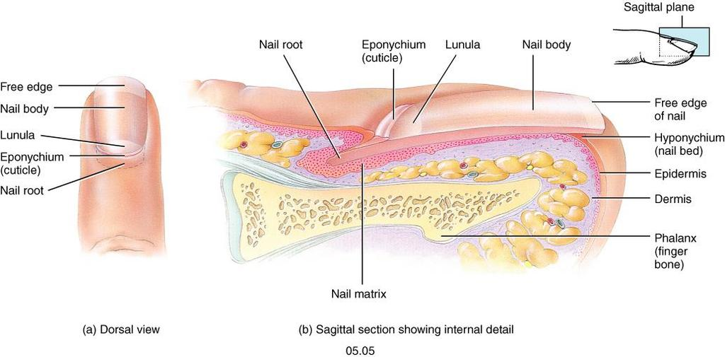 Nails Plates of tightly packed cells of the