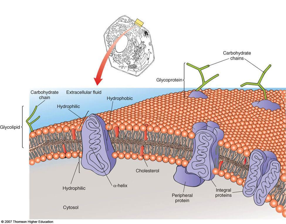 Lecture 6: Membranes and Cell Transport Biological Membranes I. Fluid Mosaic Model A. Biological membranes are lipid bilayers with associated proteins 1. Characteristics a.