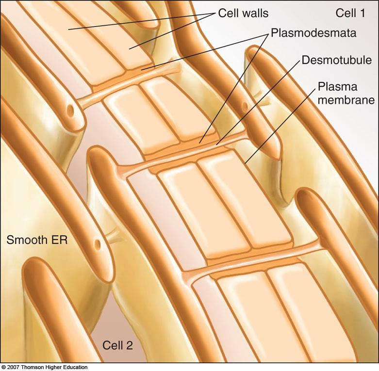 4. Plasmodesmata a. Allow movement of certain molecules and ions between plant cells b.