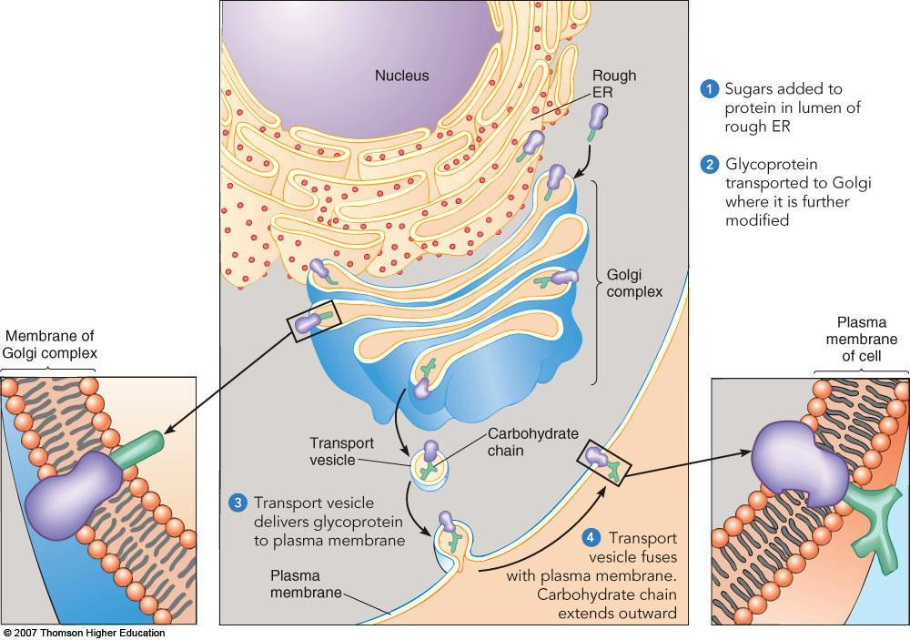 C. Biological membranes fuse and form closed vesicles 1. Membrane fusion is due to the liquid crystalline state 2.