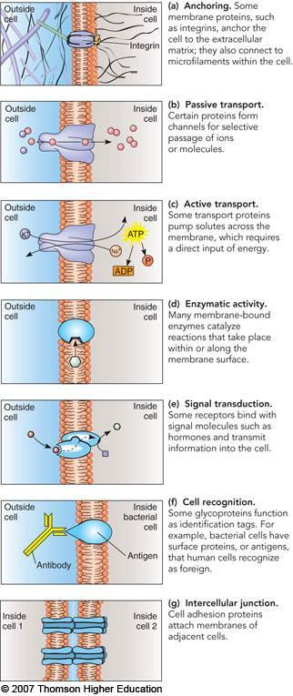 G. Membrane proteins function in transport, information transfer, and as enzymes 1. Membrane proteins are formed by free ribosomes 2. Proteins are involved in transport of small molecules 3.