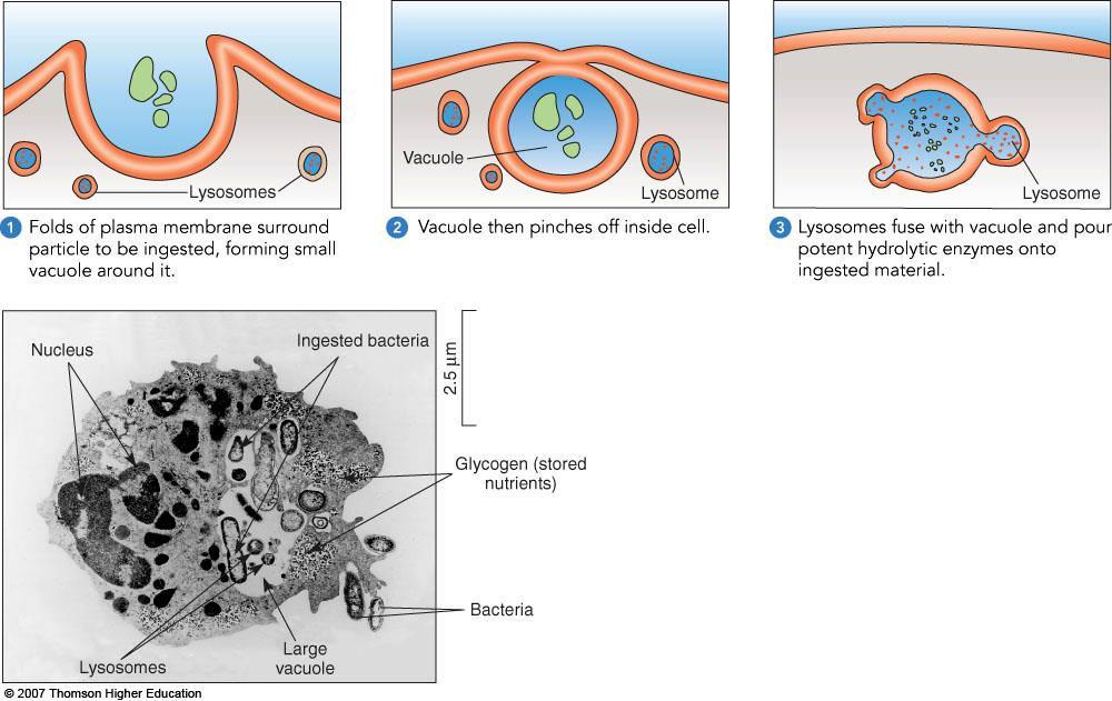 2. In endocytosis, a cell takes up