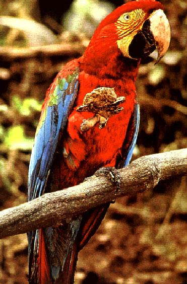 Macaws: winged rainbows. Natl. Geograph.