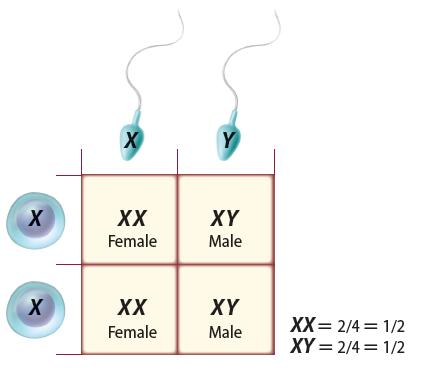 Sex Determination One pair of chromosomes, sex chromosomes, determine an individual s gender.