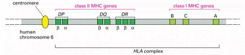 Classical class I and II MHC genes code for integral membrane glycoproteins, known as peptide antigen presenting MHC proteins or molecules classical