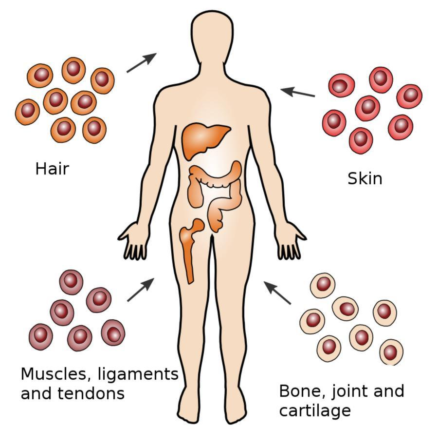Adult stem cells also called tissue stem cells, are less undifferentiated than ES cells and are found among differentiated cells within an organ or tissue.
