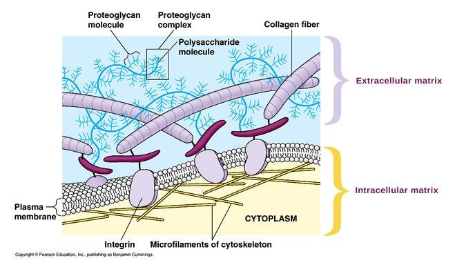 Extracellular matrix Ref :