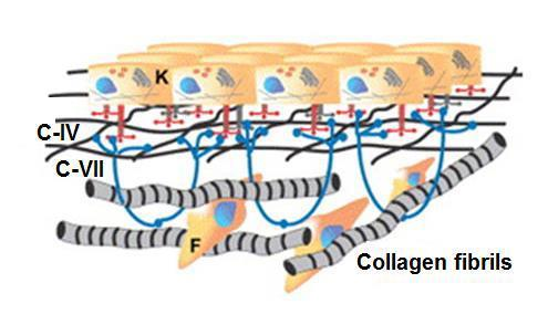 The categories of collagen families classified by the their supramolecular structure.