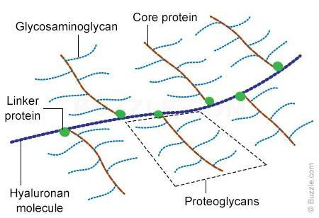 Structure of Proteoglycan Ref: http://www.buzzle.