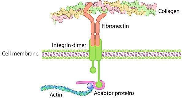 Adhesive glycoproteins and adhesion