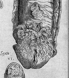 95) through to an illustration of the female genitalia by Vesalius, imitated by Geminus, and shown as a