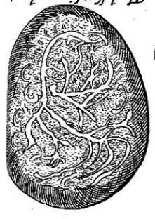 Illustrations Regarding early fetal development, termed embryology for the Wolveridge Classification, both Rueff and Wolveridge devoted a chapter to the generation of the parts and increase of the