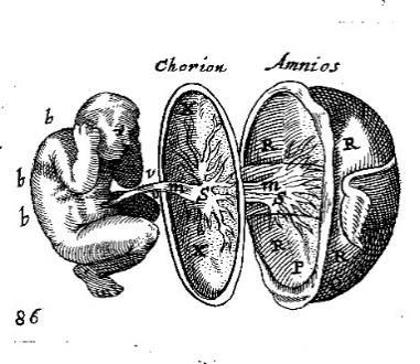 Illustrations Animalium that the heart appears first distinctly marked off and is the first principle or origin.