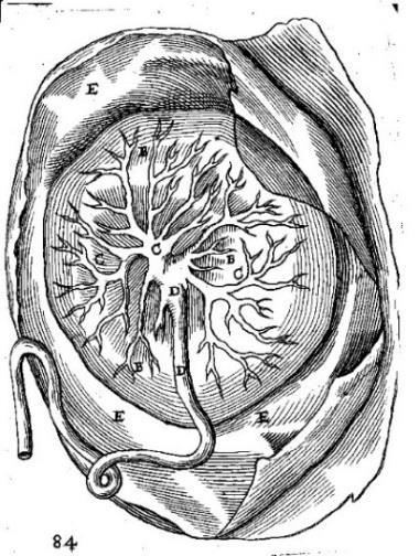 Illustrations of a placental band at the rear of the placenta. The looped cord, the stippling at the rear of the placenta, and the lettering also differed in his version.