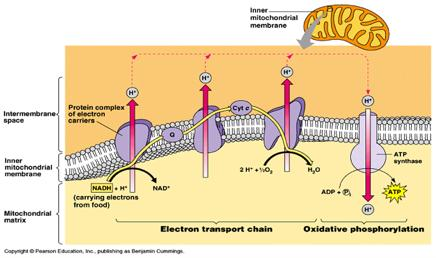 produced (net) from one glucose molecule by adding together the ATP produced at each stage of