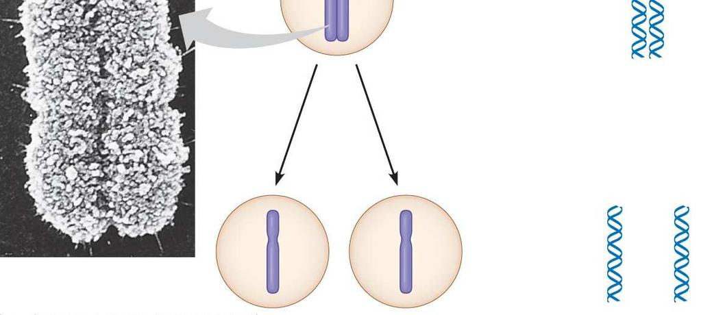 microscope. Replicated chromosome consisting of 2 sister chromatids.