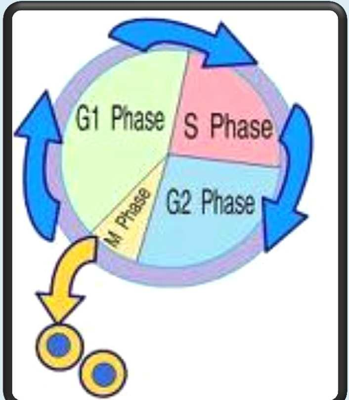 The Cell Cycle The cell cycle is: The series of events that cells go through as they grow