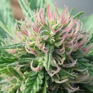 Cannabis flower
