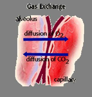 Respiration Respiratory surface any surface across which gases are exchanged for the purpose of respiration In humans, the respiratory surface is contained in the lungs.