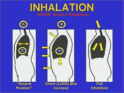 The Mechanics of Breathing inhalation (inspiration) Inhalation During inhalation, the intercostal muscles contract which causes the rib cage to lift up and out.