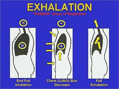The Mechanics of Breathing exhalation (expiration) Exhalation The intercostals muscles relax and the ribs move back to their normal position.