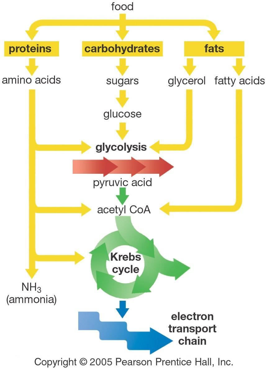 Complex Carbohydrates must first be broken down into glucose before