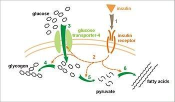 Regulation of blood glucose Insulin is released from the β-cells of the pancreas In response to increased blood