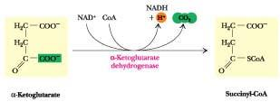 1. Carboxyl group is removed as CO 2 2. NAD + is reduced to NADH and H + 3.