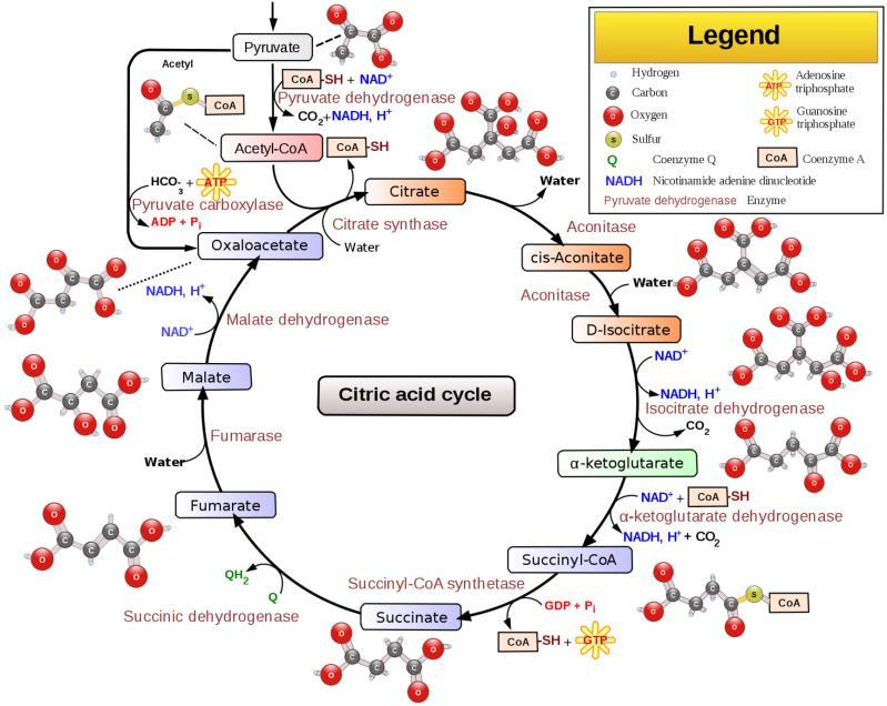 Reactions of the Citric Acid Cycle 29 Reactions of
