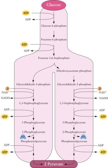A Summary of the Glycolysis Pathway 13