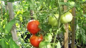 including controlled growing environments such as greenhouses. Tomato plant nutrition is one factor which is continually changing with the use of new cultivars, systems and methods of production.