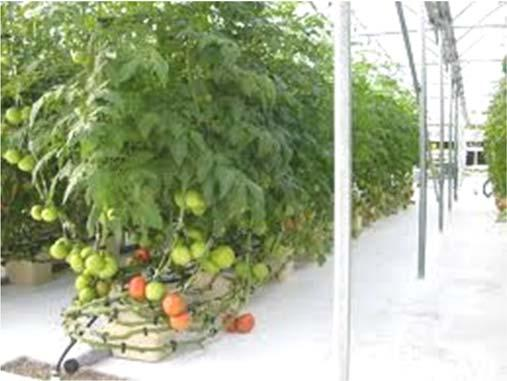 One major advantage of a hydroponic crop is that it allows very precise control and monitoring of tomato plant nutrition.