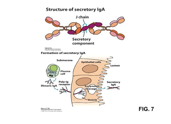 J chain SC (see Fig. 7) carbohydrate 7-11% (on, J chains and SC) Two subclasses IgA1 serum 85% external secretions 40-70% IgA2 serum 15% external secretions 30-60% serum levels 0.5-3.