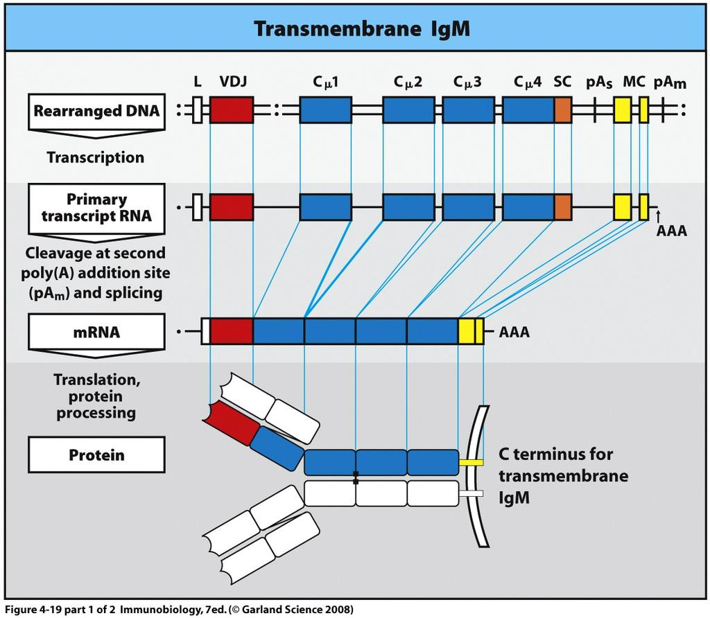 Alternate RNA splicing controls membrane bound versus secreted antibody Yellow membrane coding (MC) exons encode a hydrophobic transmembrane domain not present in the