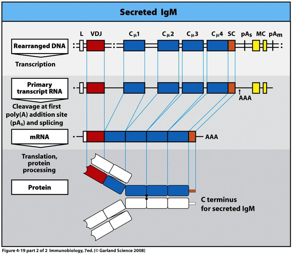 Alternate RNA splicing controls membrane bound versus secreted antibody The
