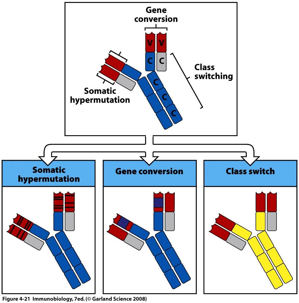 Three ways to modify B cell antigen receptor genes These mechanisms occur ONLY in B cells
