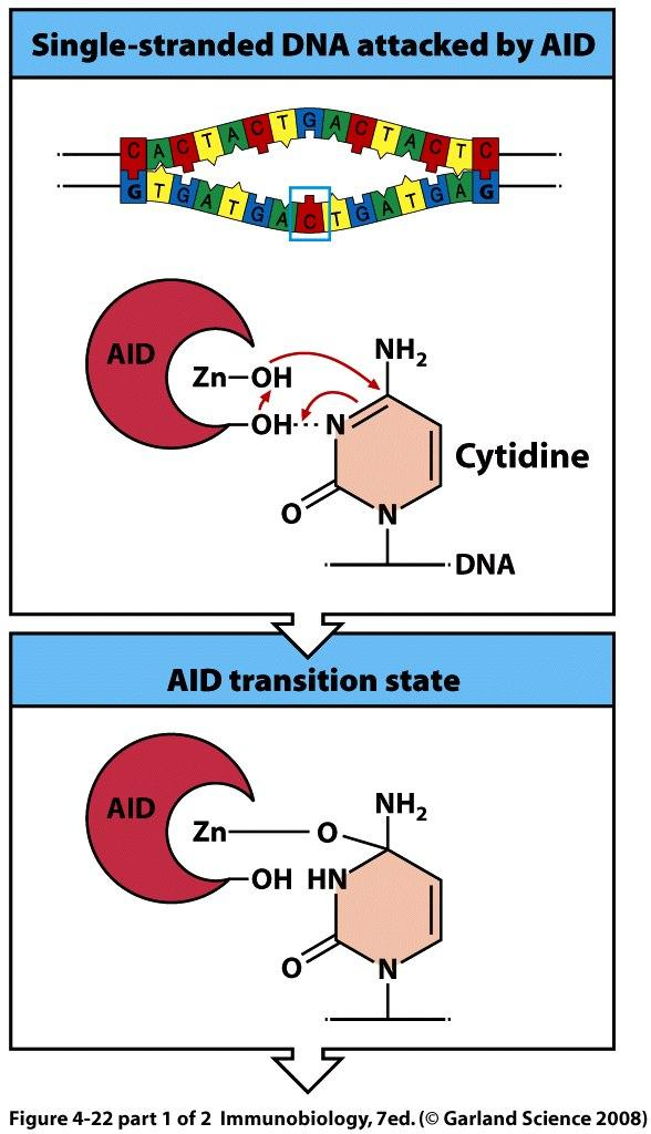 AID is a DNA deaminase AID initiates a nucleophilic attack on