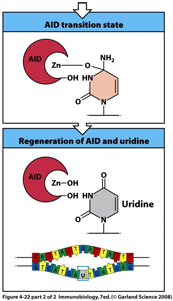 AID is a DNA deaminase Cytidine is deaminated to uridine Uridine is not present in normal DNA It is mutagenic