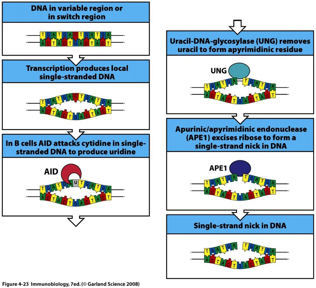 Initiation of CSR DNA rearrangements also requires AID CSR requires AID, UNG, and apurinic/