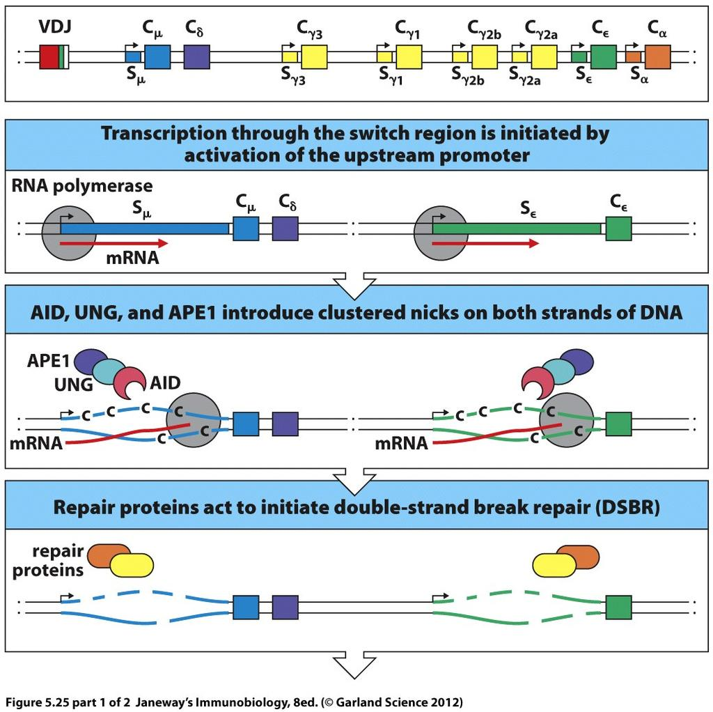 Switch regions target AID activity for CSR transcription initiated Switch regions are repetitive stretches of DNA in the intron just upstream of the first exon of each C H gene (except Cd) Cytokine