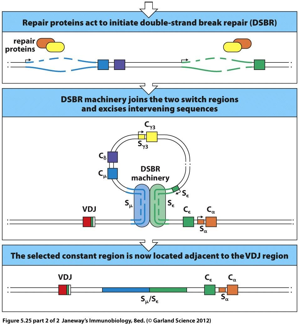 CSR places a new CH gene segment next to the VDJ Coordinated deamination at donor and acceptor switch regions by AID UNG APE1 results in double-stranded DNA breaks (DSBs) Original VDJ These DSBs are