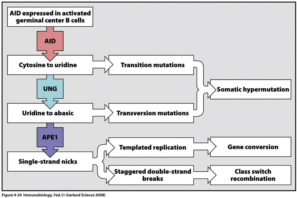 SHM and CSR are mechanistically related Transition & transversion mutations (X) (This