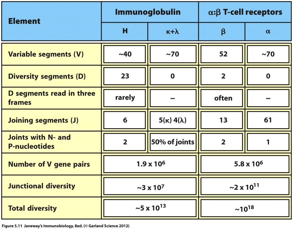 Adding up all the numbers V(D)J recombination + Junctional diversity = Astonishing theoretical diversity of