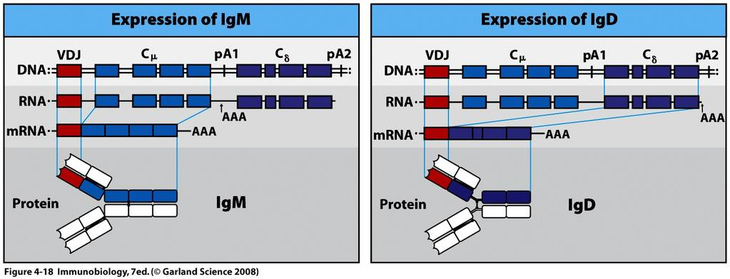 Mature Naïve B cells express both IgM and IgD RNA processing RNA cleavage, polyadenylation, and splicing - control IgM and IgD expression in B cells Naïve B