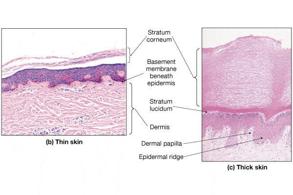 Stratum Corneum Multiple layers of flattened, dead cells Number of layers depends on region of the