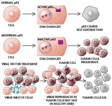 Oncogenes Protooncogenes encode for: Main components of intracellular signaling, Growth factors, Growth factors receptors, Transcription factors, Regulatory cytoplasmatic proteins.