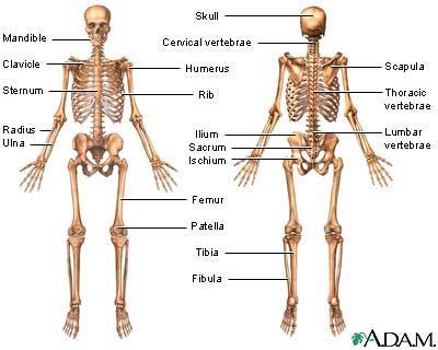 5.3 The structure and function of the skeletal system The skeletal system has five particular functions, which are linked directly to its structure: Movement at joints Support for muscles and vital