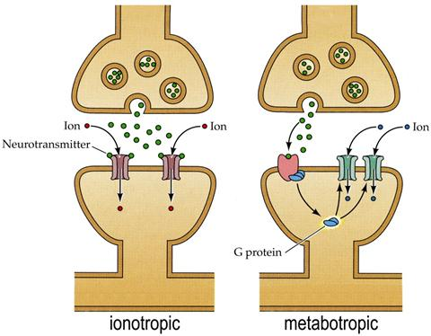 Neurotransmitter Receptors Two families of neurotransmitter receptors: